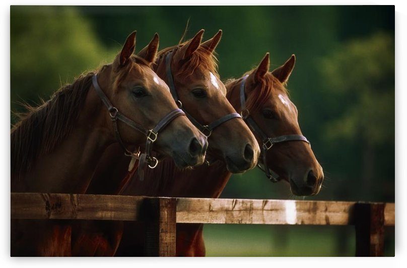 Ireland; Thoroughbred Horses by PacificStock