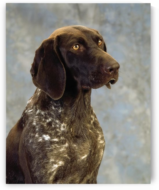 German Pointer; Portrait Of A Dog by PacificStock