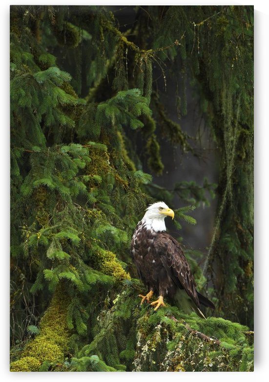 Eagle In The Woods by PacificStock