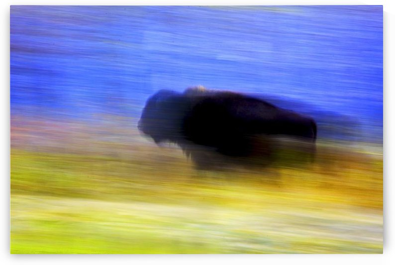 Buffalo In Motion by PacificStock