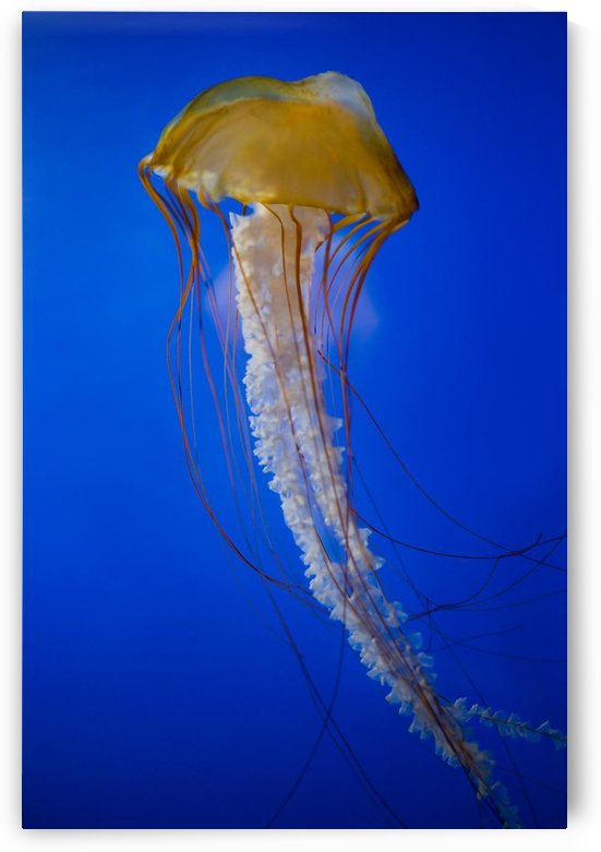 Jellyfish by PacificStock