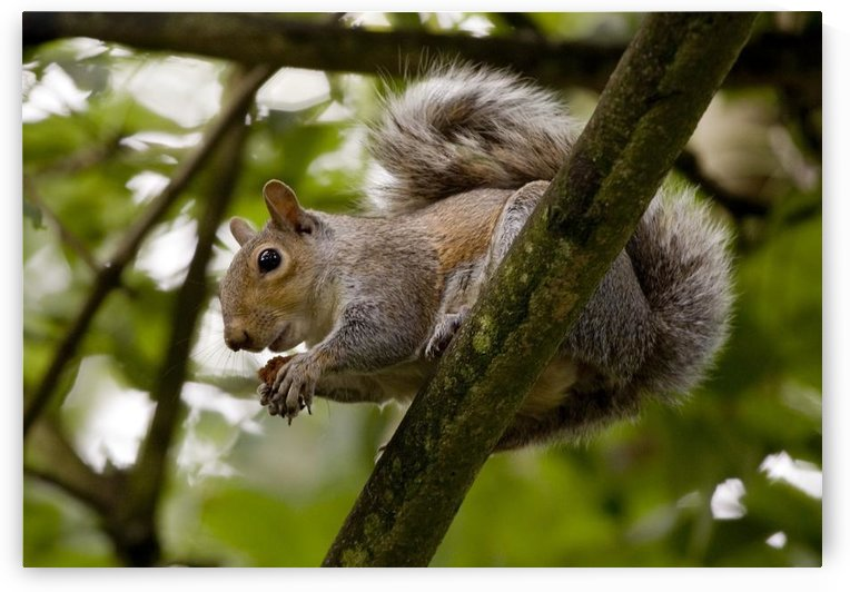 Gray Squirrel On A Tree Branch by PacificStock
