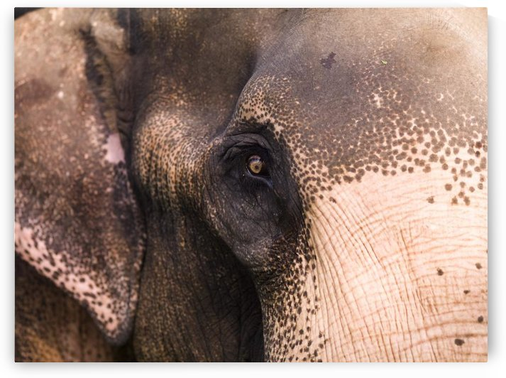 Close Up Of Elephant by PacificStock