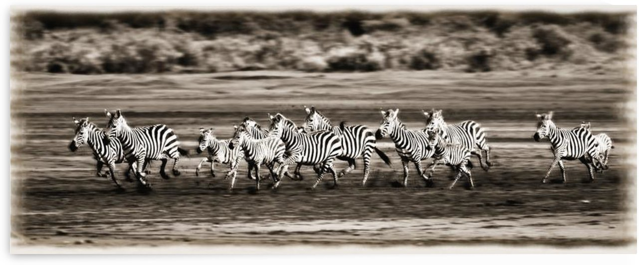 Running Zebras, Serengeti National Park, Tanzania, Africa by PacificStock