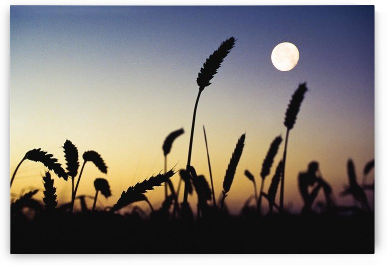 Wheat Field, Ireland; Wheat Field And Full Moon by PacificStock