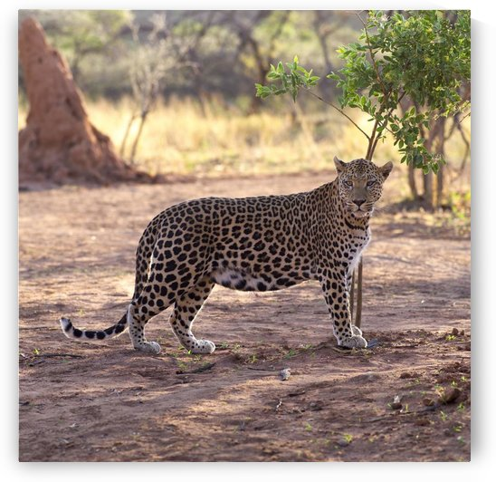 Leopard by PacificStock
