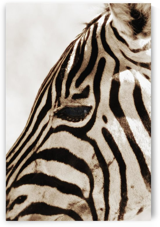 Zebra (Hippotigris Dolichohippus) by PacificStock