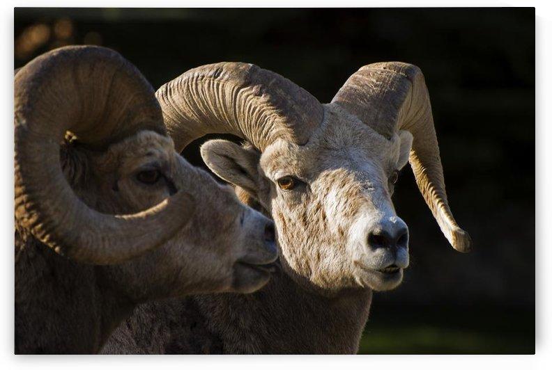 Bighorn Sheep, Waterton National Park, Alberta, Canada by PacificStock