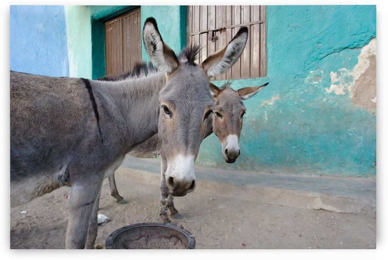 Donkeys, Harar, Ethiopia, Africa by PacificStock