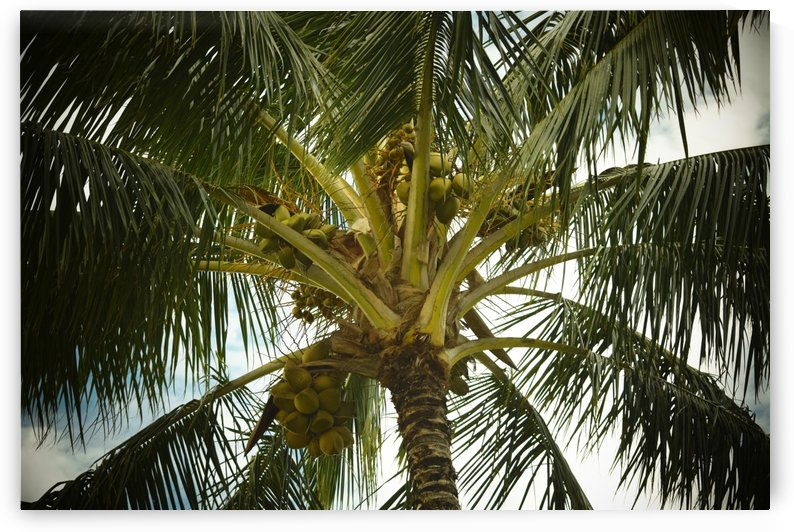 Coconut Palm by Frank Wilson