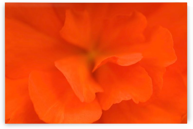 Waterloo, Quebec, Canada; Close-Up Of Red Begonia by PacificStock