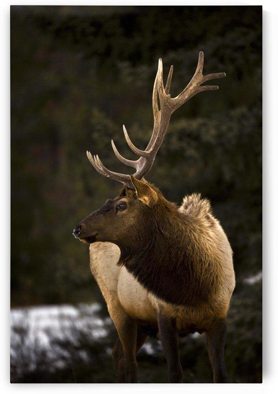 Elk (Cervus Canadensis); Bull Elk Looking To The Side by PacificStock