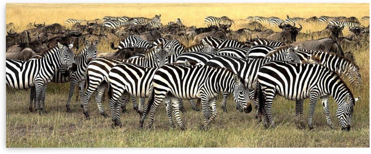 Masai Mara, Kenya; Herd Of Burchell's Zebra And Wildebeest by PacificStock