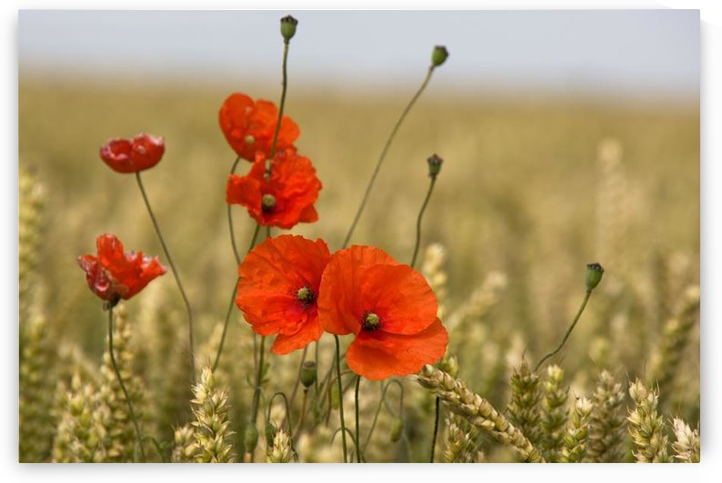 Red Poppies In A Field Of Grain by PacificStock