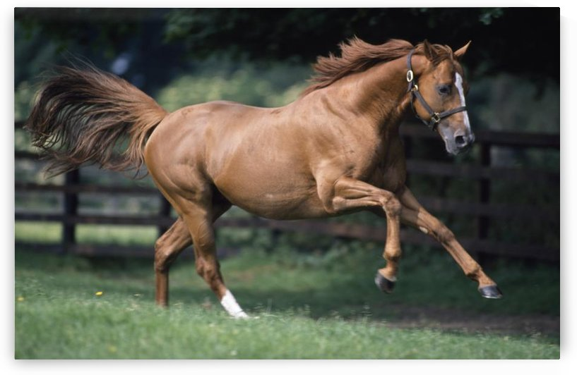 Galloping Thoroughbred Horse by PacificStock