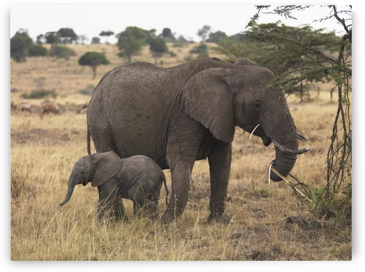 Mother And Baby Elephant by PacificStock