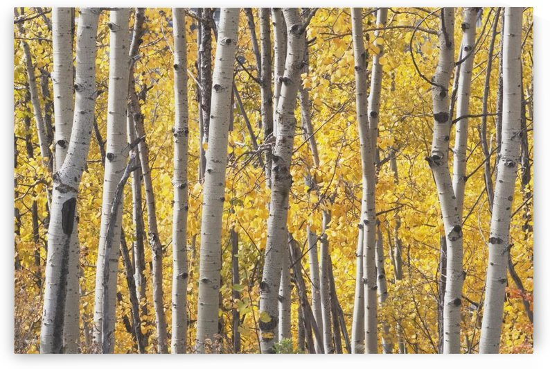 Kananaskis Country, Alberta, Canada; Aspen Trees In Autumn by PacificStock