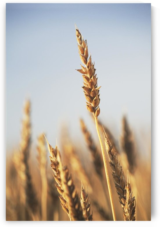Rip Wheat, Central Alberta, Canada by PacificStock