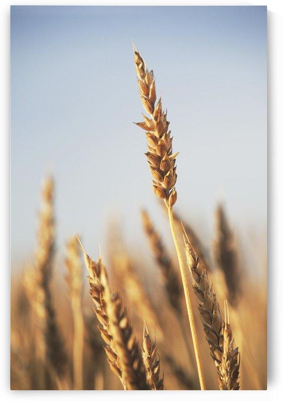 Rip Wheat, Central Alberta, Canada by PacificStock