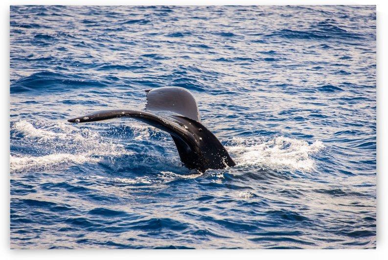 Whale by Andrea Spallanzani