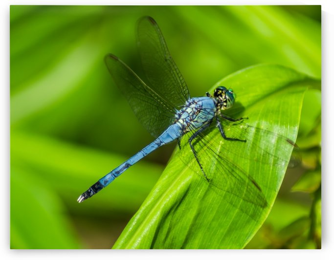 Blue Dragonfly by Melody Rossi