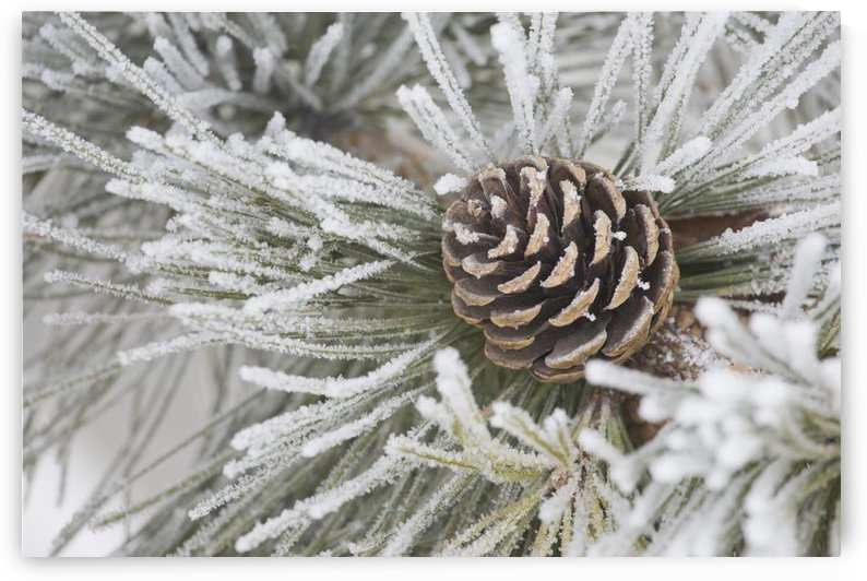 Calgary, Alberta, Canada; Needles Of A Pine Tree And A Pine Cone Covered In Frost by PacificStock