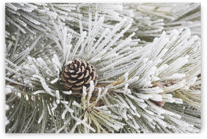 Calgary, Alberta, Canada; Frost Covered Pine Needles And A Pine Cone by PacificStock