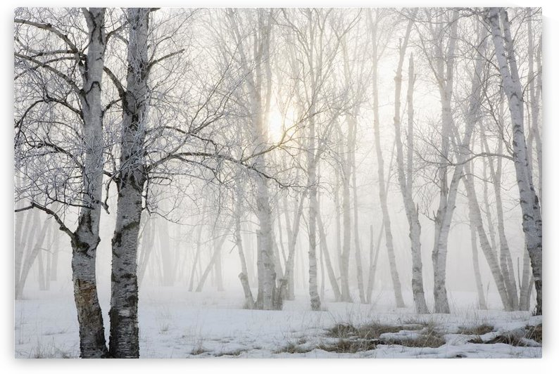 Ontario, Canada; Birch Trees In The Fog by PacificStock