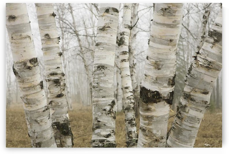 Ontario, Canada; Birch Trees In The Fog In Early Spring by PacificStock
