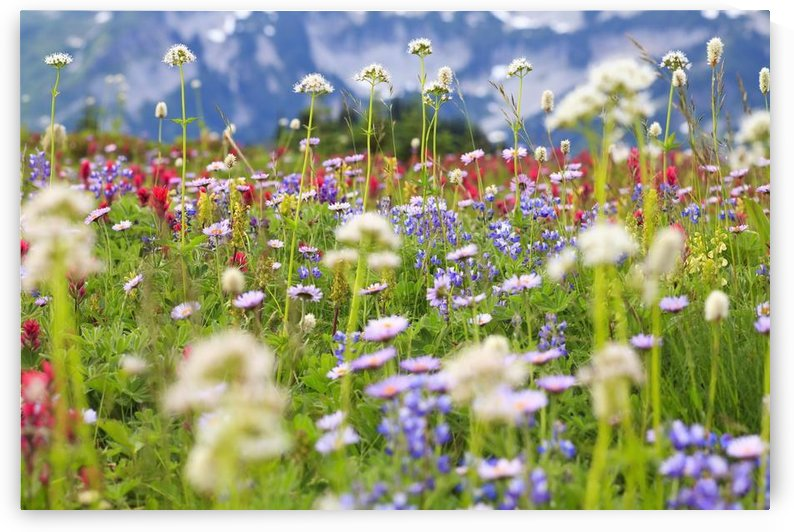 Washington, United States Of America; Wildflowers In A Meadow In Mt. Rainier National Park by PacificStock