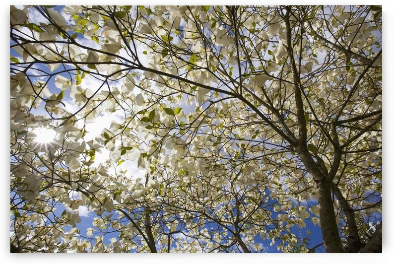 A Tree With Blossoms In Happy Valley Park; Oregon, Usa by PacificStock
