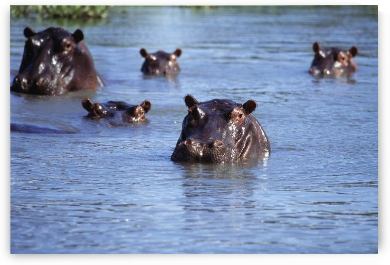 Hippos Swimming In River In Okavango Delta by PacificStock