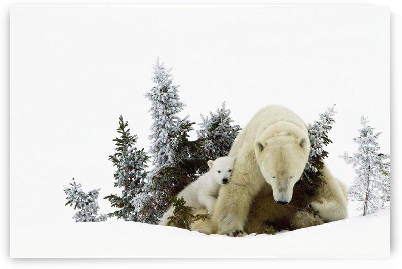 Polar Bears At Wapusk National Park; Churchill, Manitoba, Canada by PacificStock