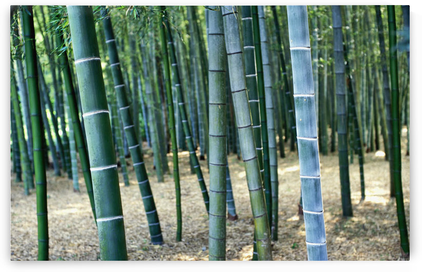 Bamboo Tree Forest, Close Up by PacificStock