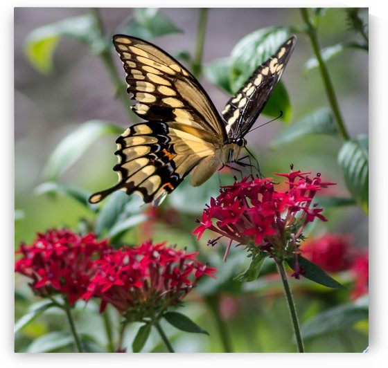 Giant Swallowtail Butterfly  by Melody Rossi