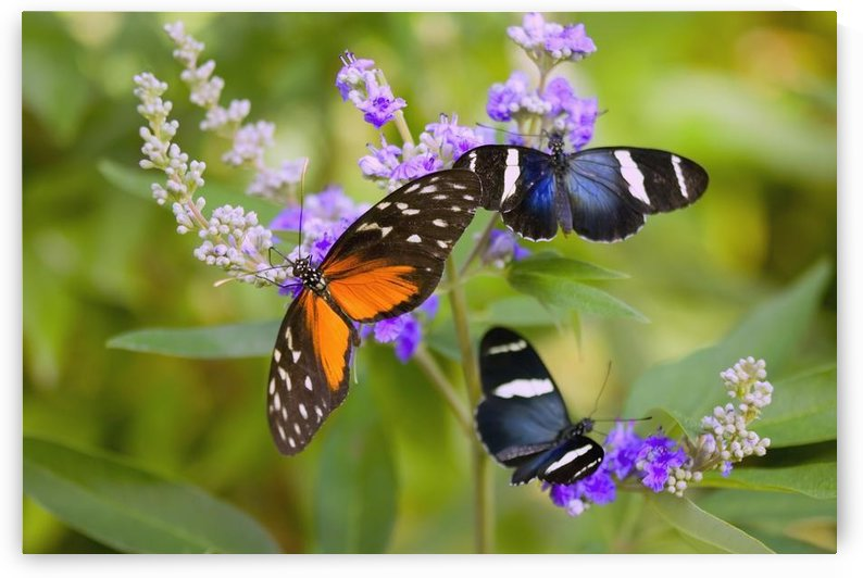 Three Colorful Butterflies On Blossoms In Spring; Oregon, Usa by PacificStock