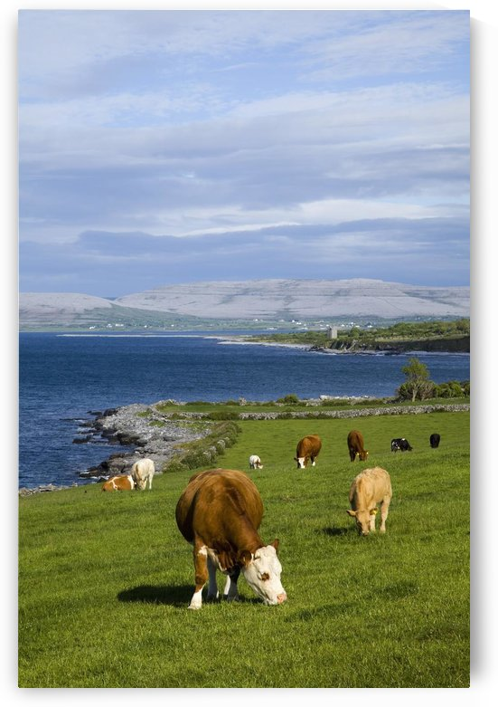 Cows Grazing On The Burren Coast Near Ballyvaghan; County Clare, Ireland by PacificStock