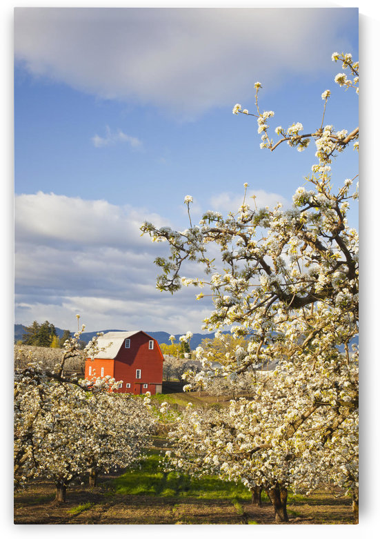 Apple Blossom Trees And A Red Barn In Hood River Valley Columbia River Gorge; Oregon United States Of America by PacificStock