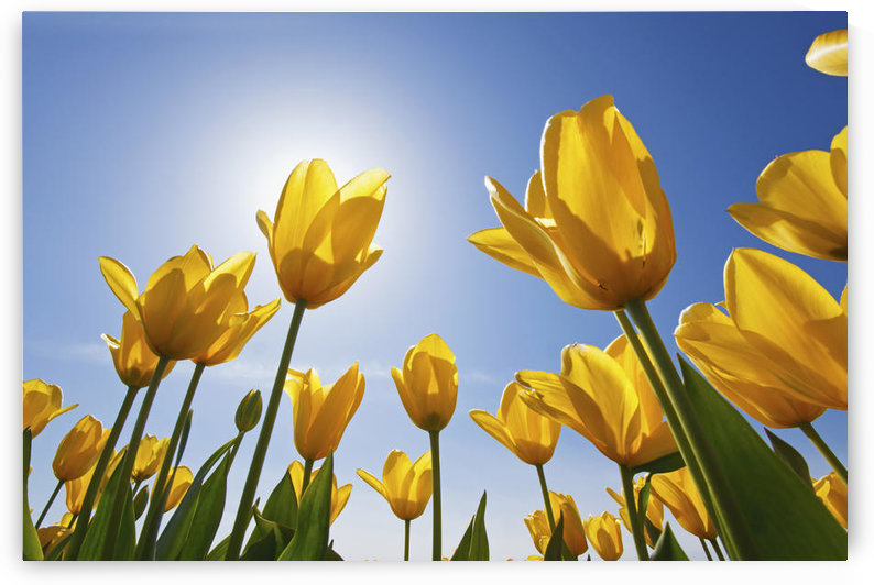 Yellow Tulips Against A Blue Sky At Wooden Shoe Tulip Farm; Woodburn, Oregon, United States of America by PacificStock