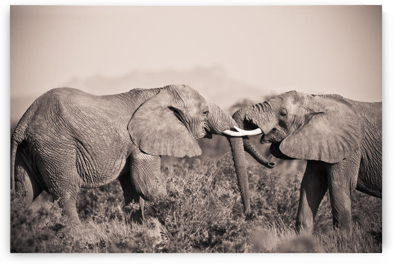 Two Elephants With Their Trunks Touching; Samburu, Kenya by PacificStock