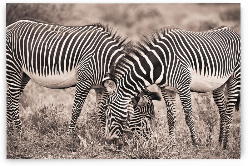 Two Zebras Grazing Together; Kenya by PacificStock