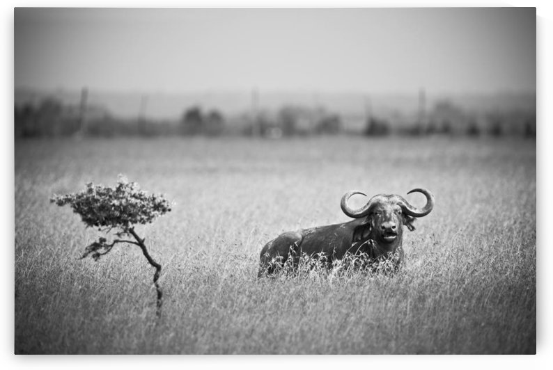 A Wildebeest In A Field; Kenya by PacificStock
