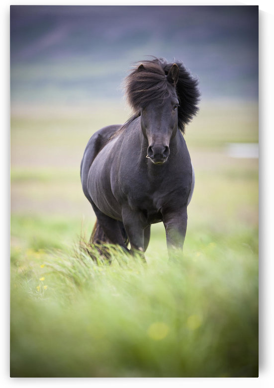 A Horse With It's Mane Blowing In The Wind; Iceland by PacificStock