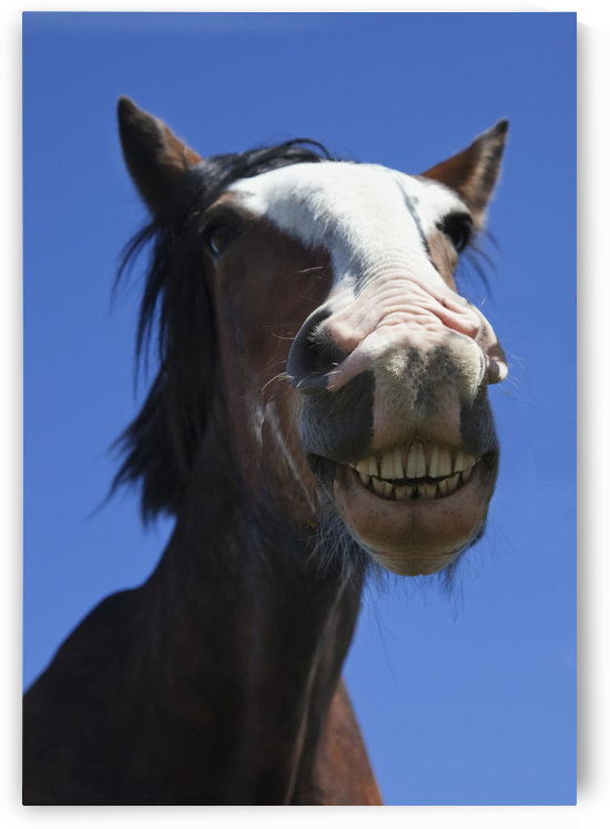 A Horse Smiling And Showing It's Teeth; Northumberland, England by PacificStock