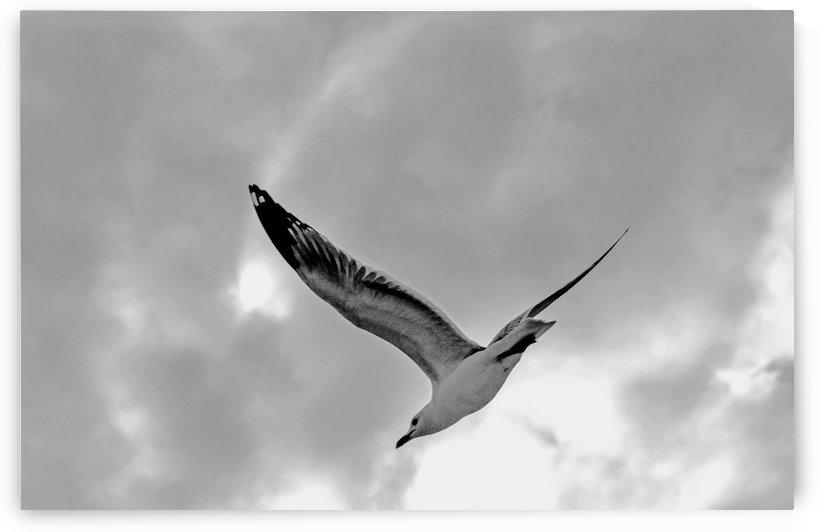 Gull in Flight 2 by Don  Baker