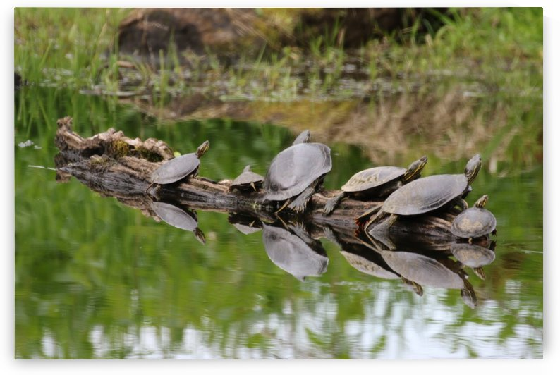 Turtle reflections by Craig Nowell Stott