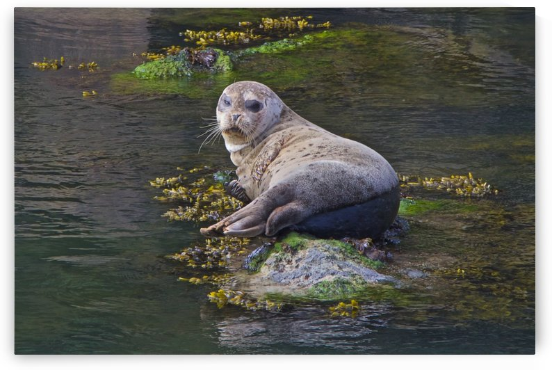 Sea lion near Depoe Bay, OR by Craig Nowell Stott