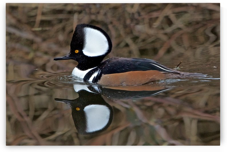 Hooded Merganser Drake reflection-landscape by Craig Nowell Stott