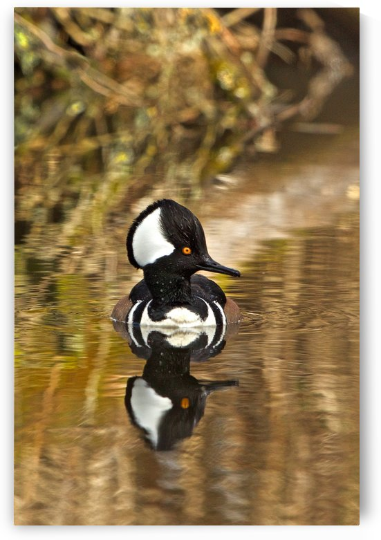 Hooded Merganser Drake Reflection-portrait by Craig Nowell Stott
