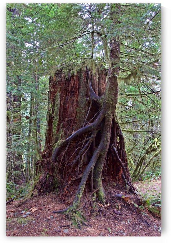 Seedling growing off of Cedar Stump by Craig Nowell Stott